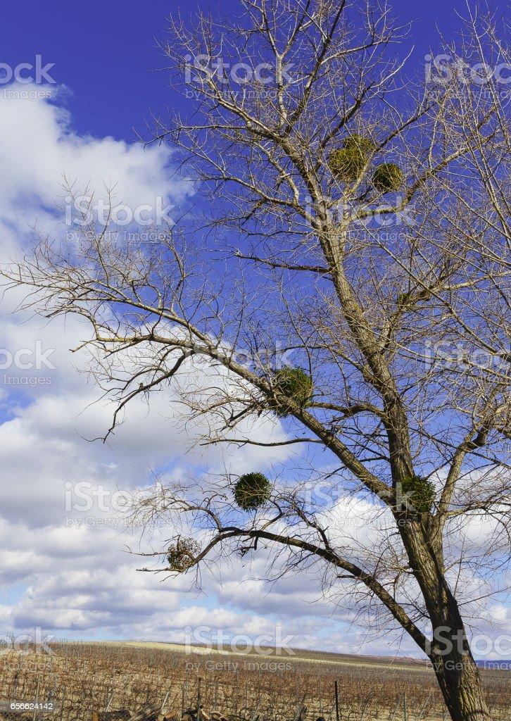The tree with the parasitic plant Mistletoe (lat. Víscum) stock photo