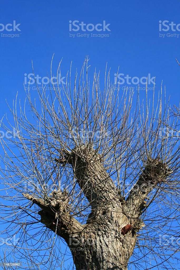 The truncated tree against a sky background. royalty-free stock photo