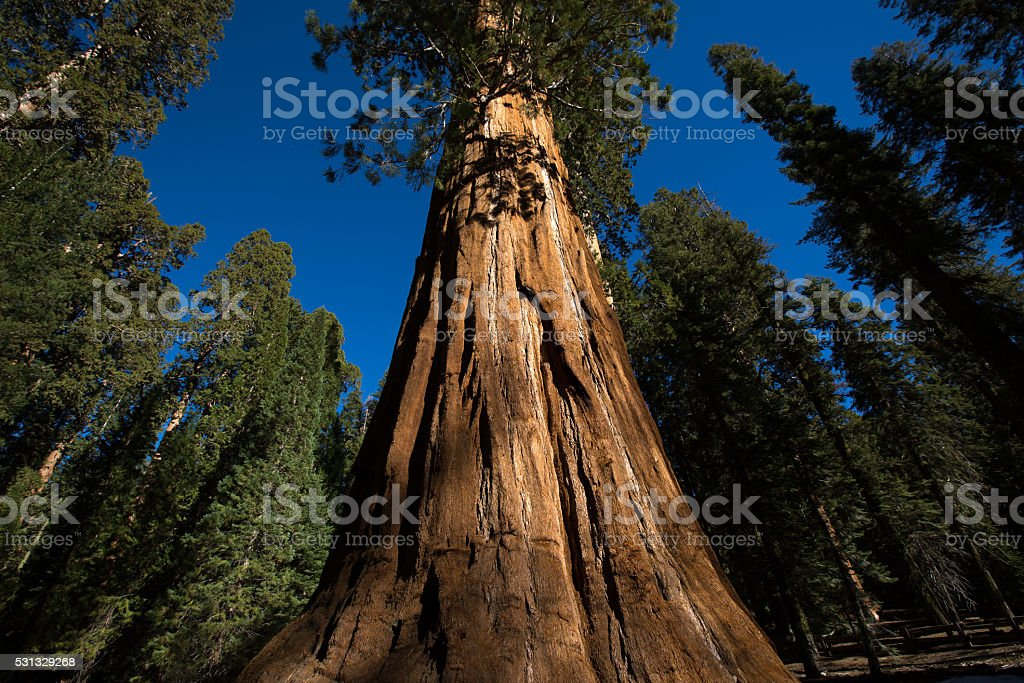 the trunk of an ancient sequia tree in california stock photo