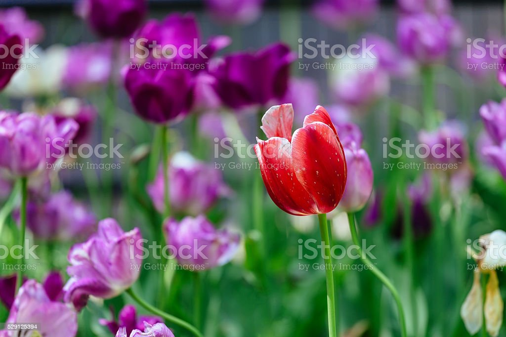 The tulip is a perennial, bulbous plant with showy flowers stock photo