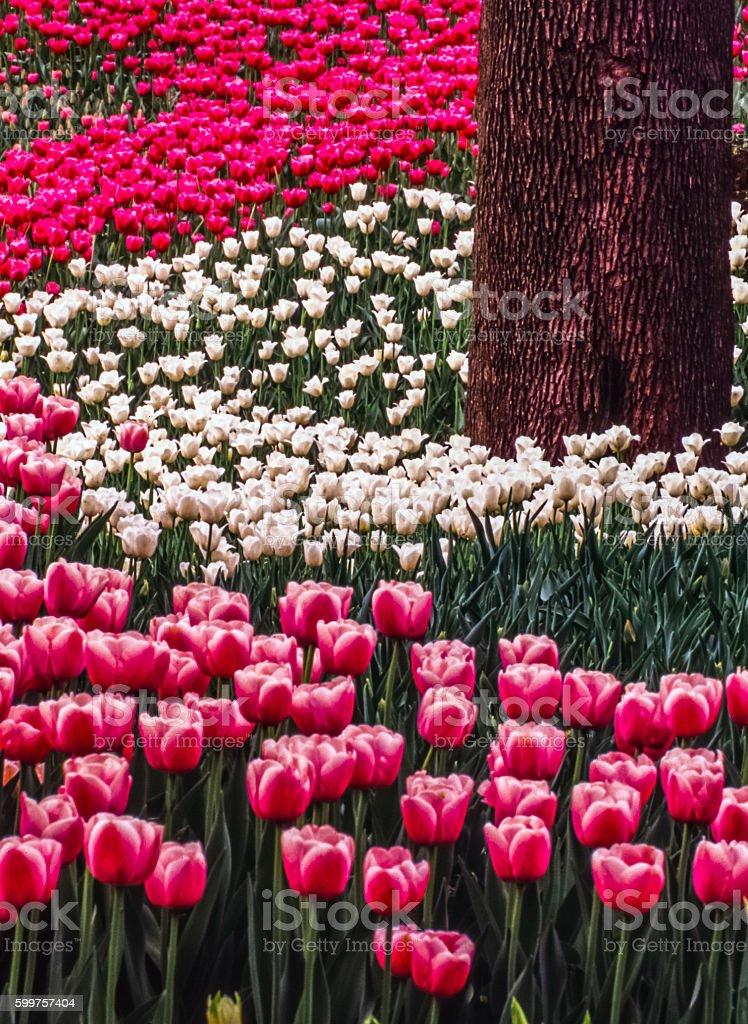 The tulip is  flowers in the genus Tulipa, stock photo