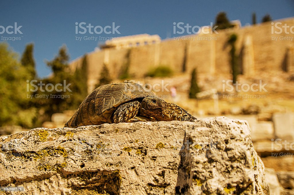 the turtle on the background of the Acropolis in Athens stock photo