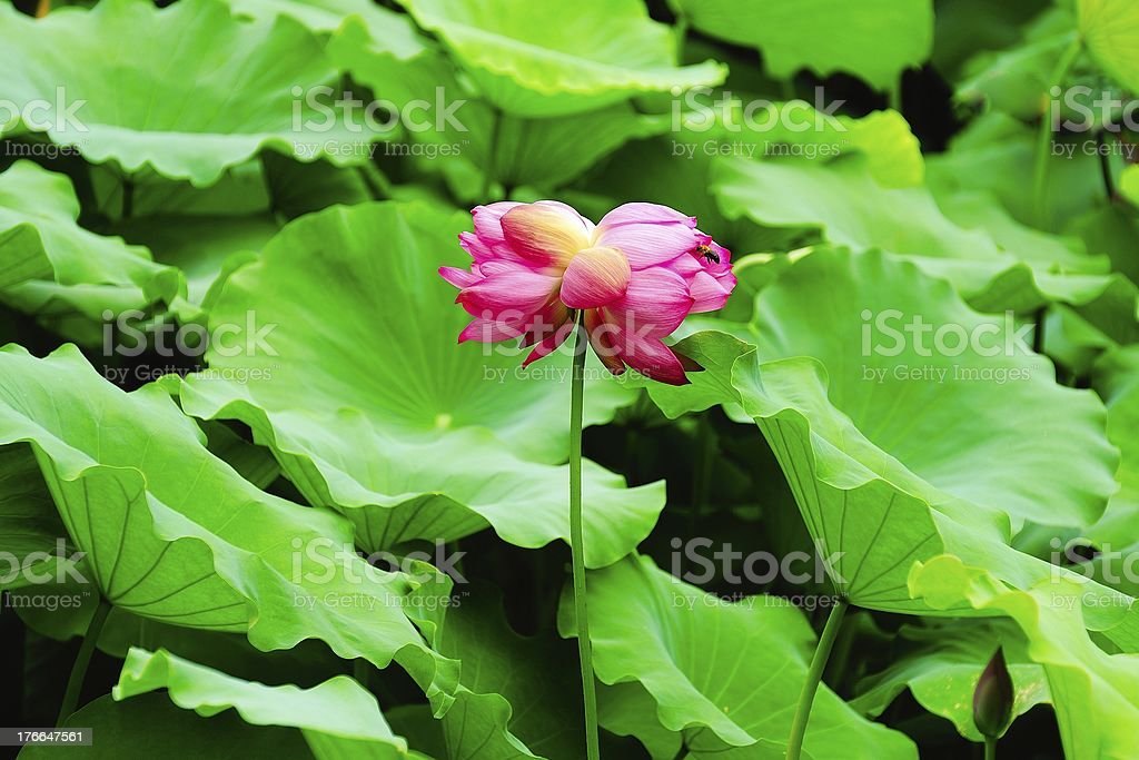 The twin lotus flowers on one stalk royalty-free stock photo