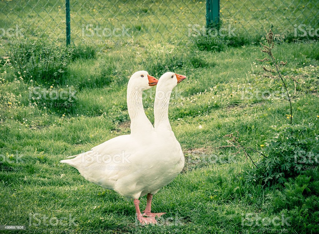 the two-headed goose stock photo
