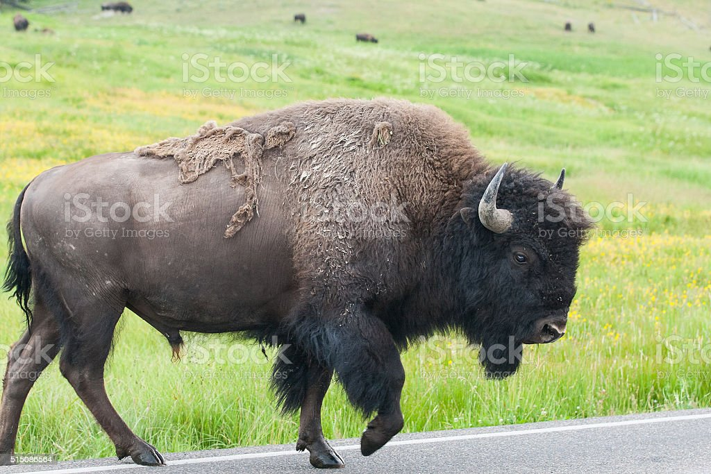 The typical American Bison on the road, Yellowstone National Par stock photo
