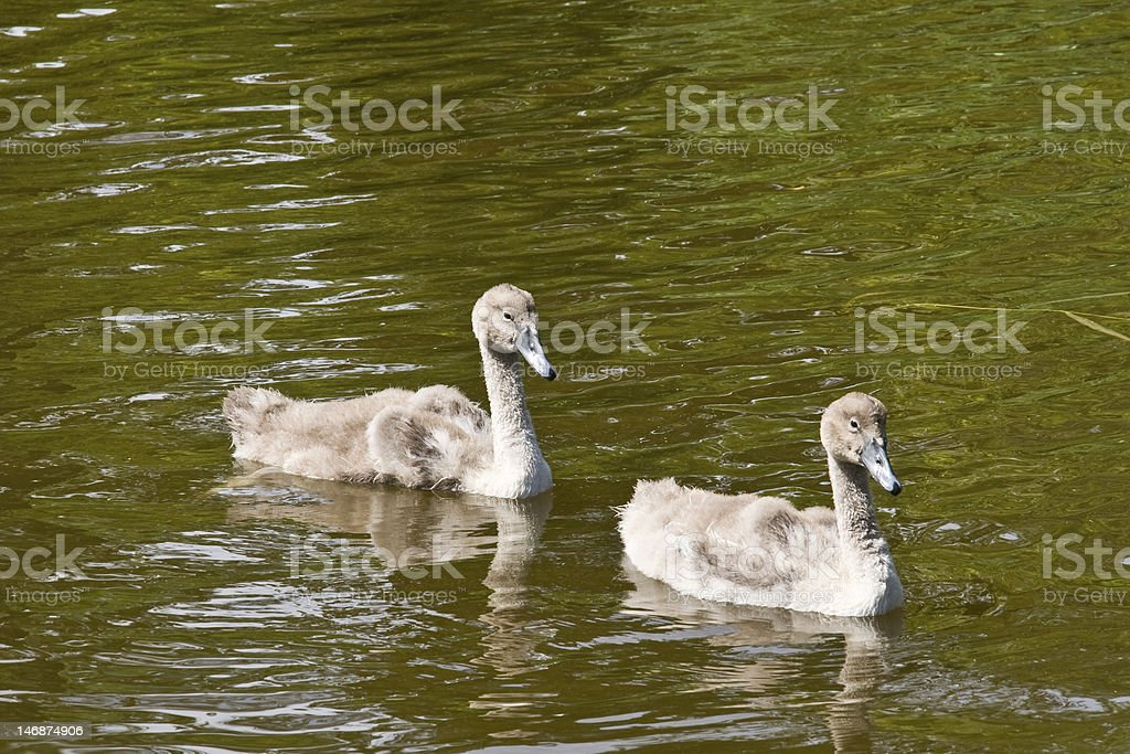 The ugly duckling - and his twin... stock photo