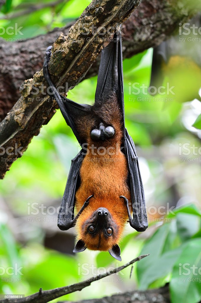 The ugly flying fox or fruit bat hanging from tree stock photo