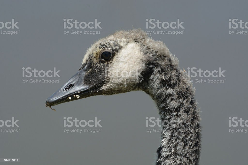The Ugly Gosling stock photo