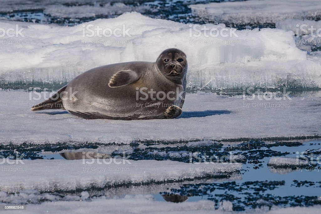 The unique Baikal seal on ice stock photo