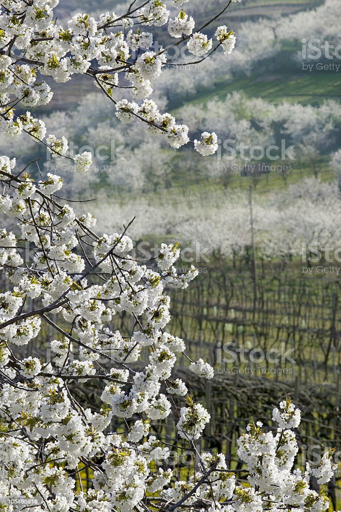 The valley of flowering cherry stock photo