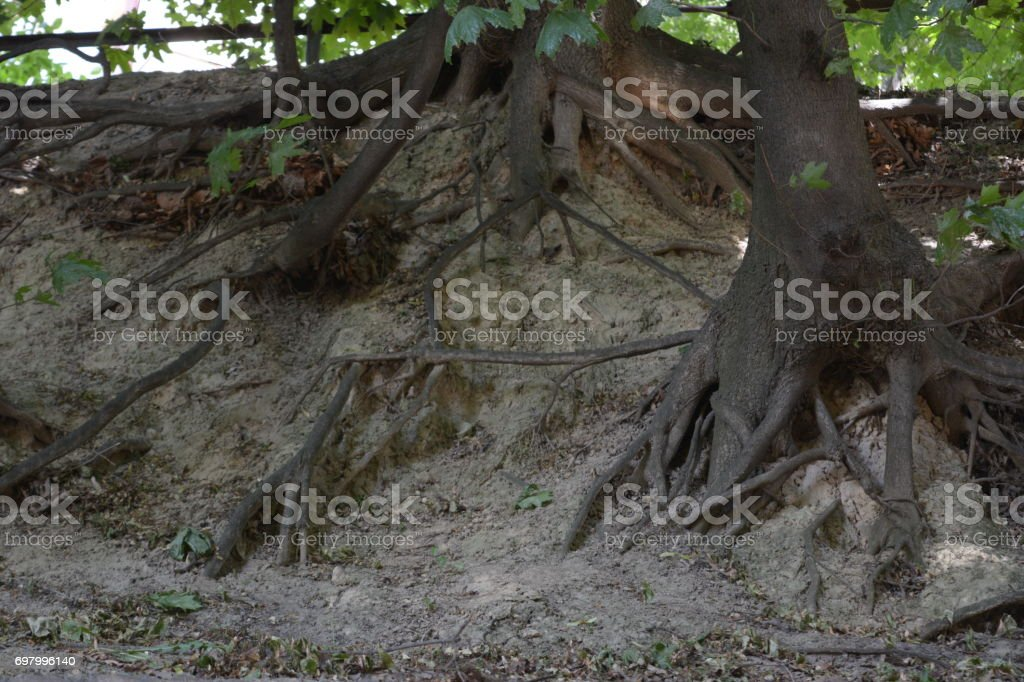 The vast roots of trees descend down the slope. stock photo