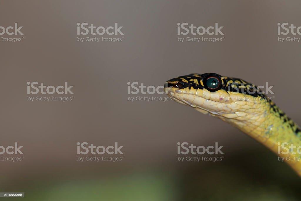 The venom green snake is eating gecko stock photo