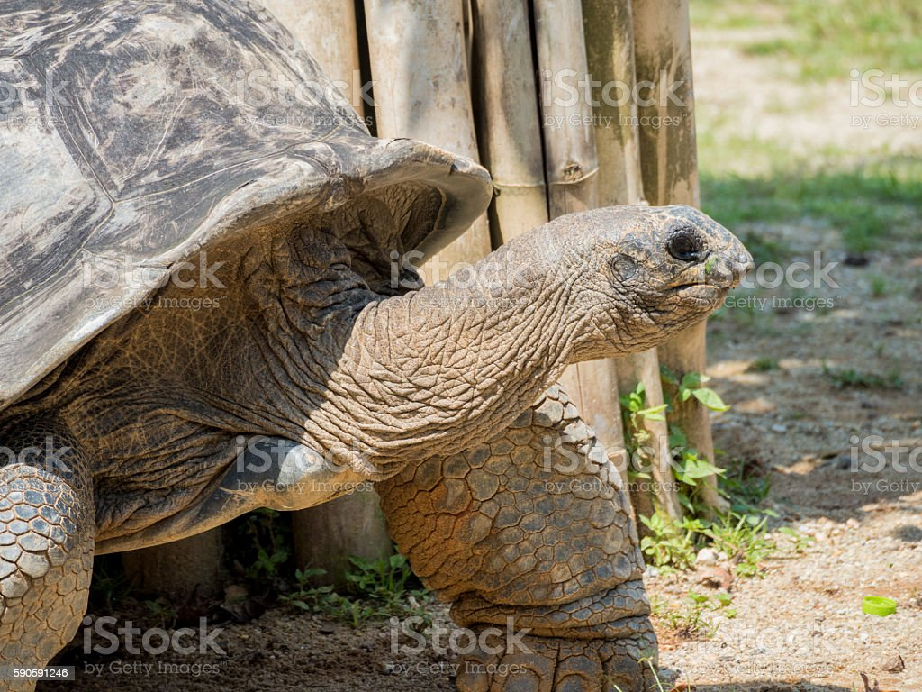 The very big turtle walking on the sand stock photo