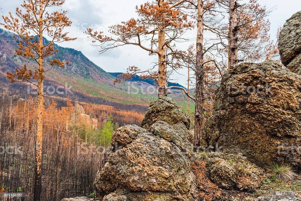 The view from the top of the hill on the burnt taiga stock photo
