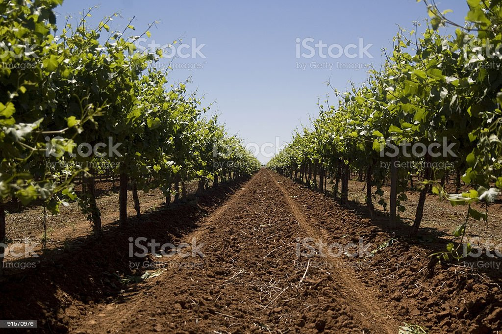 The Vineyard Series royalty-free stock photo