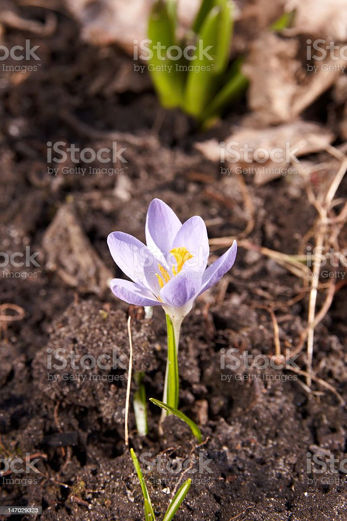 The violet crocus royalty-free stock photo