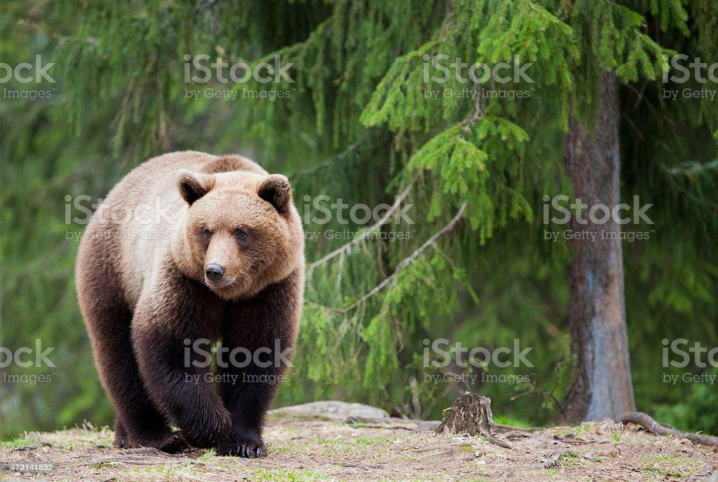 The walking bear stock photo