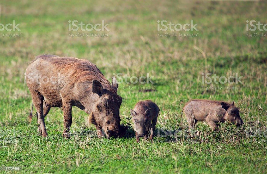 The warthog family on savannah in Ngorongoro crater. royalty-free stock photo