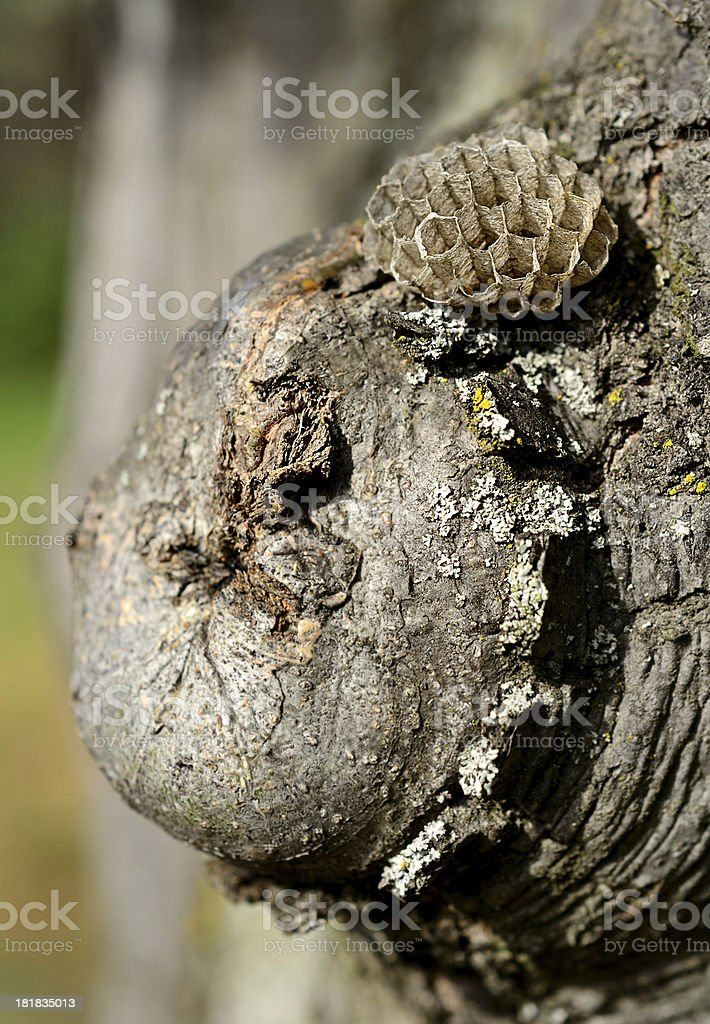 The wasp nest on tree royalty-free stock photo
