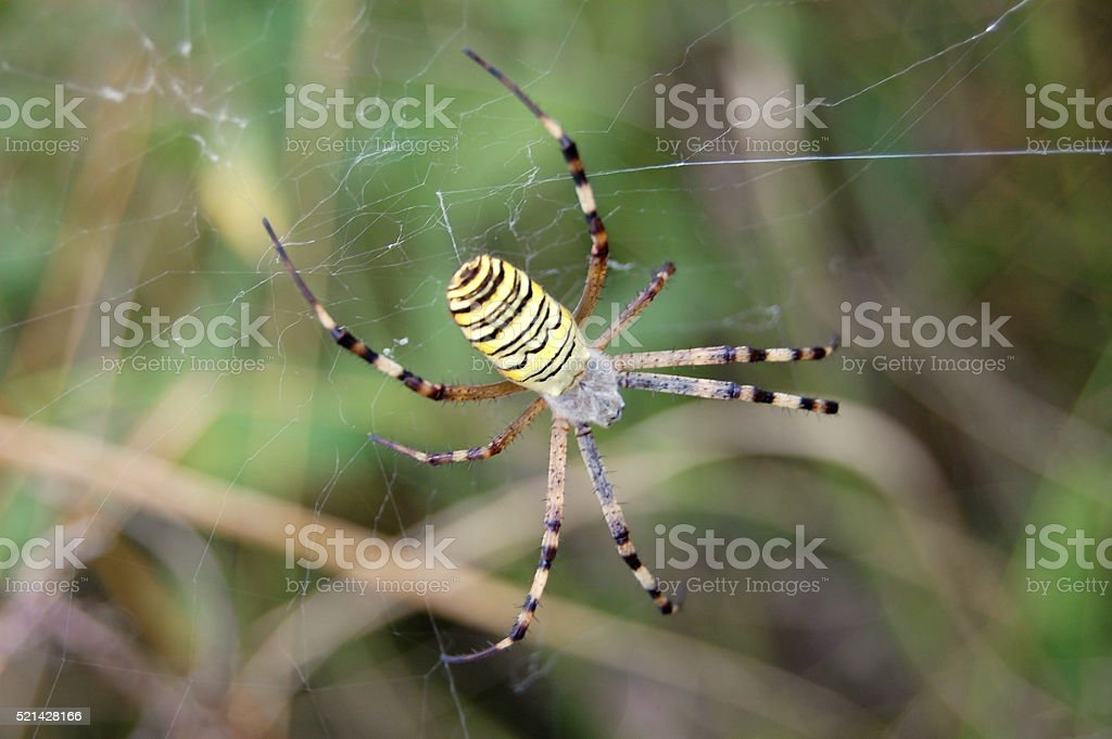 The wasp spider (Argiope bruennichi) stock photo