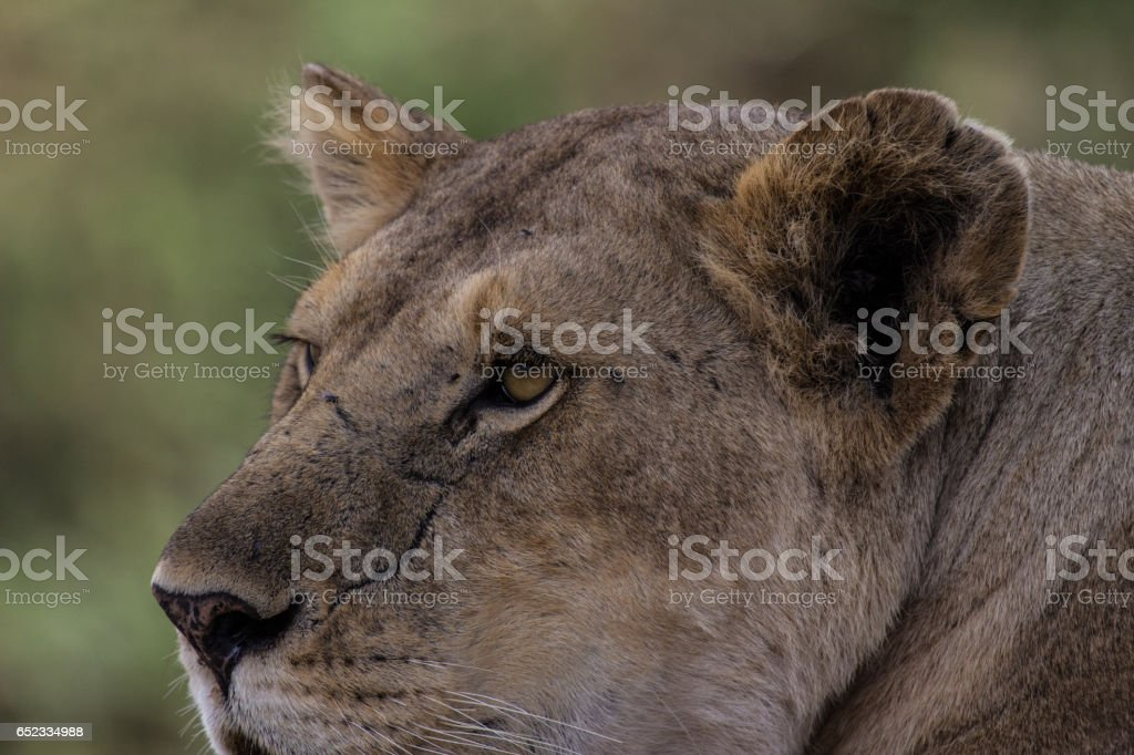 The watchful eyes of a lioness in Tanzania. stock photo