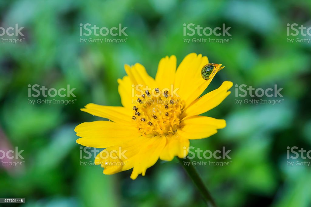 The water drop on the petal of the yellow flower. stock photo