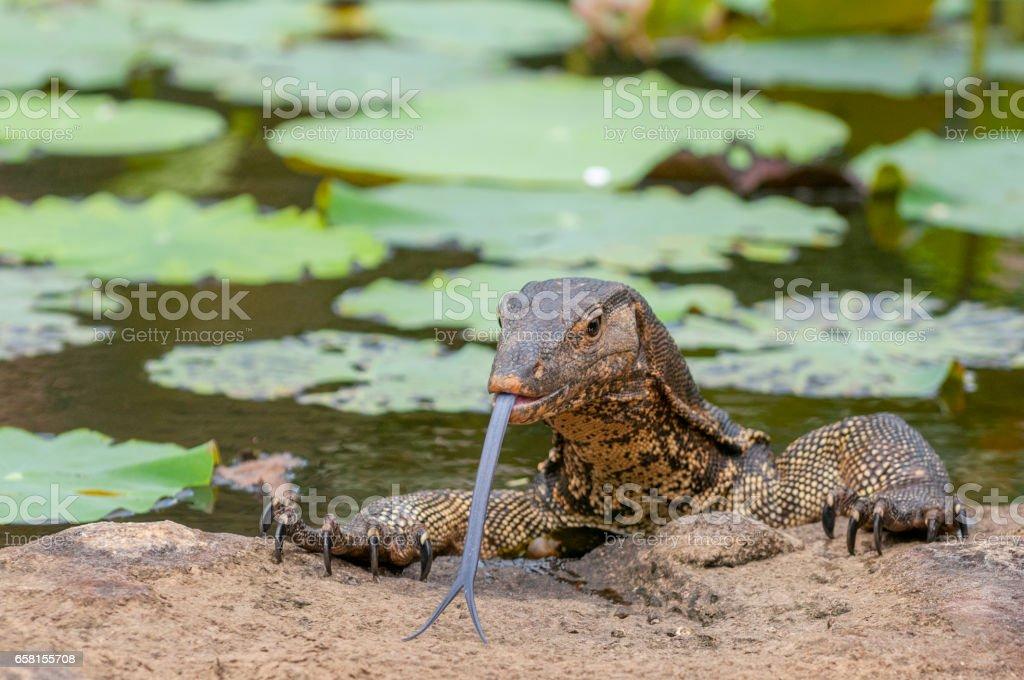 The water monito lizard, Asia. stock photo