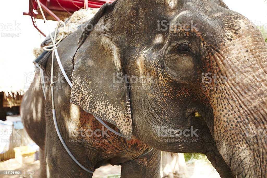 The weary eyes of a working elephant royalty-free stock photo