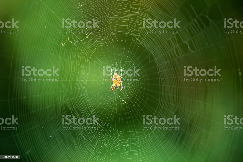 the web is a big beautiful spider on green background stock photo