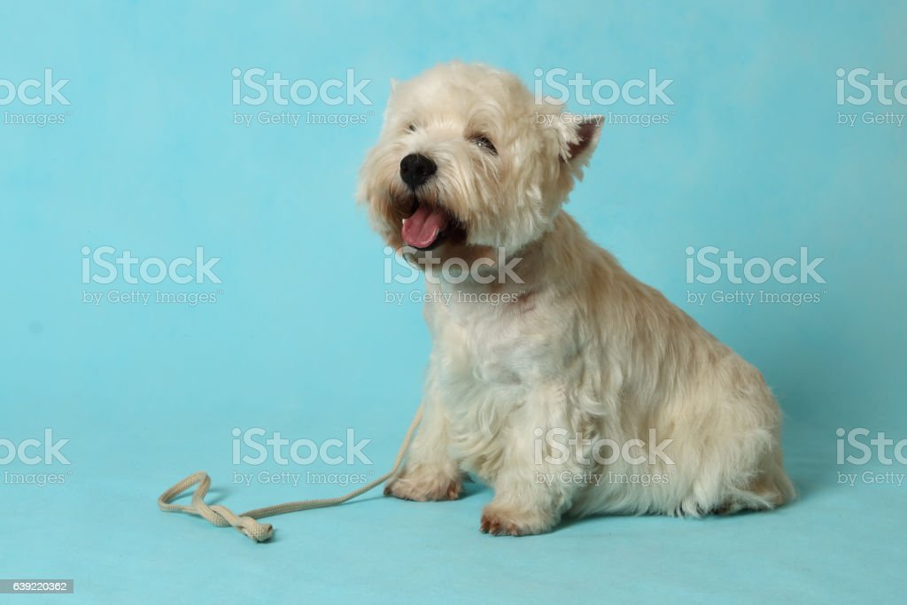 The West highland white Terrier. stock photo
