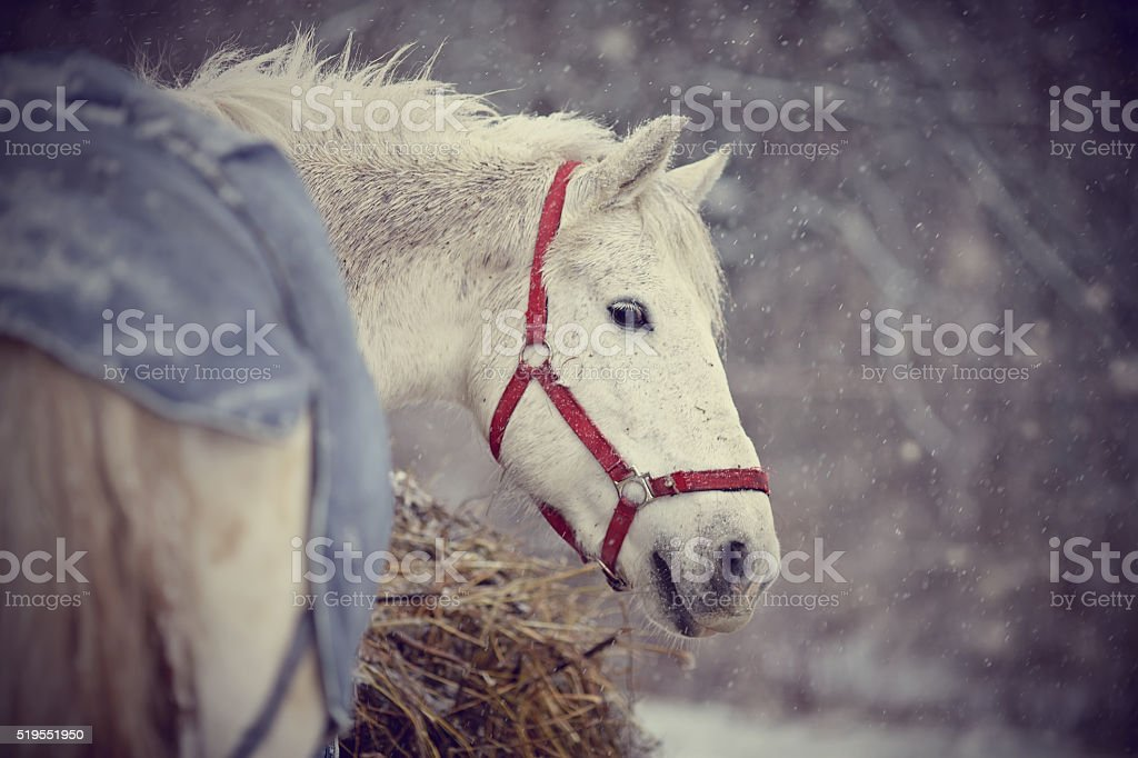 The wet white horse walks in snowfall. stock photo