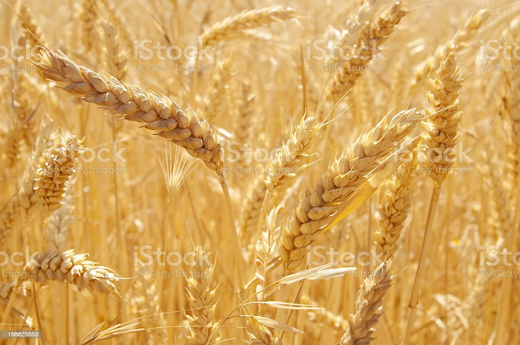the wheatfield royalty-free stock photo