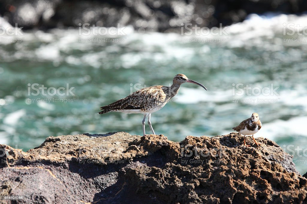 The whimbrel (Numenius phaeopus) stock photo