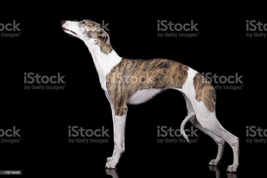 the whippet on a black background royalty-free stock photo