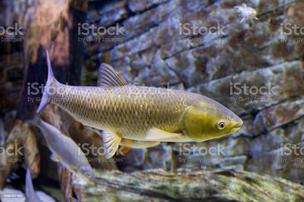 The white Amur fish in the big aquarium stock photo