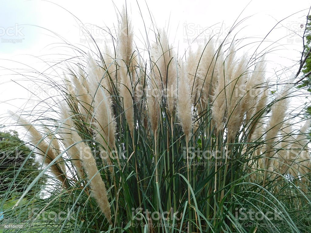 The white ears of pampas grass in the cloudy sky stock photo