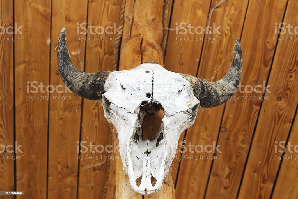 The white facial skeleton of an animal with horns stock photo