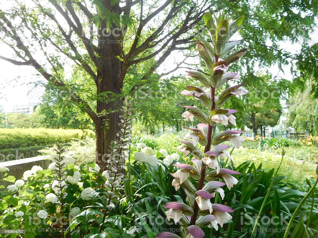 The white flowers of acanthus in a public garden stock photo