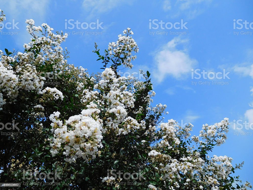 The white flowers of crape myrtle tree in the park stock photo