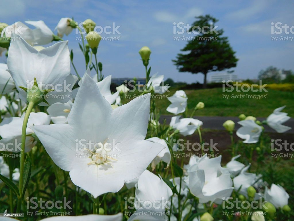 The white flowers of Japanese bellflower under the blue sky stock photo