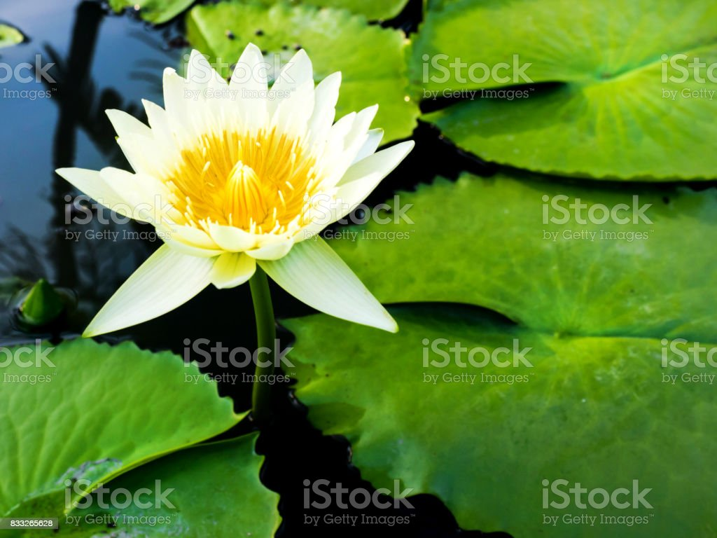The white lotus is natural stock photo