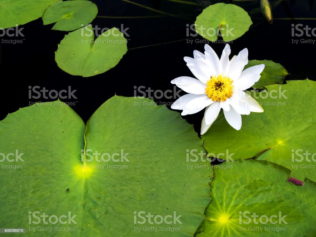 The white lotus is pretty natural stock photo