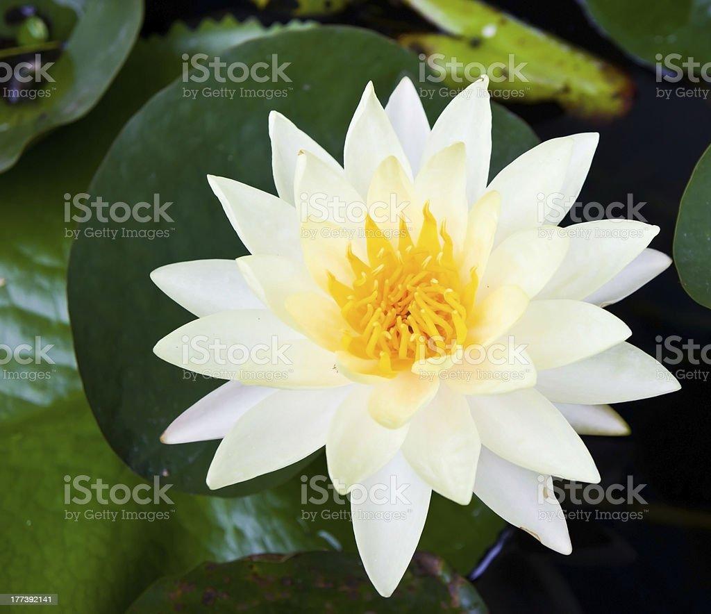 The white lotus. royalty-free stock photo