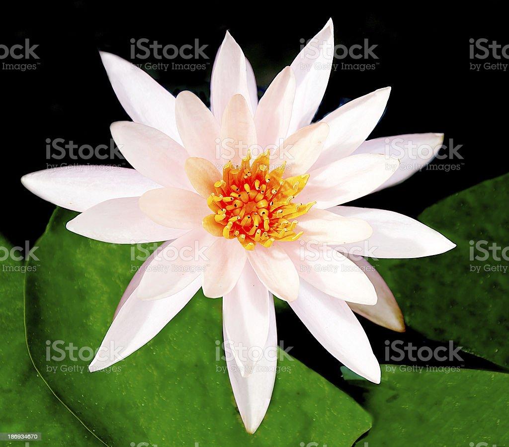 The White lotus royalty-free stock photo