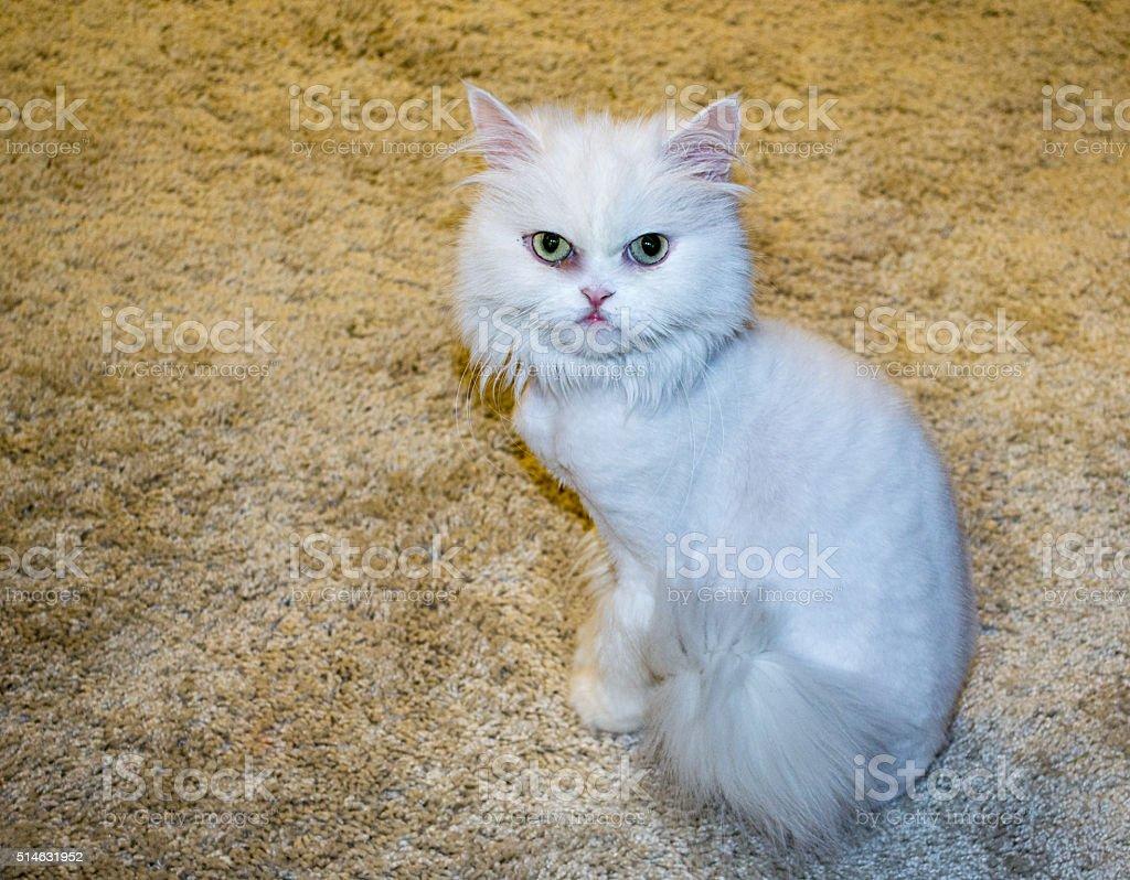 The white Persian cat stock photo