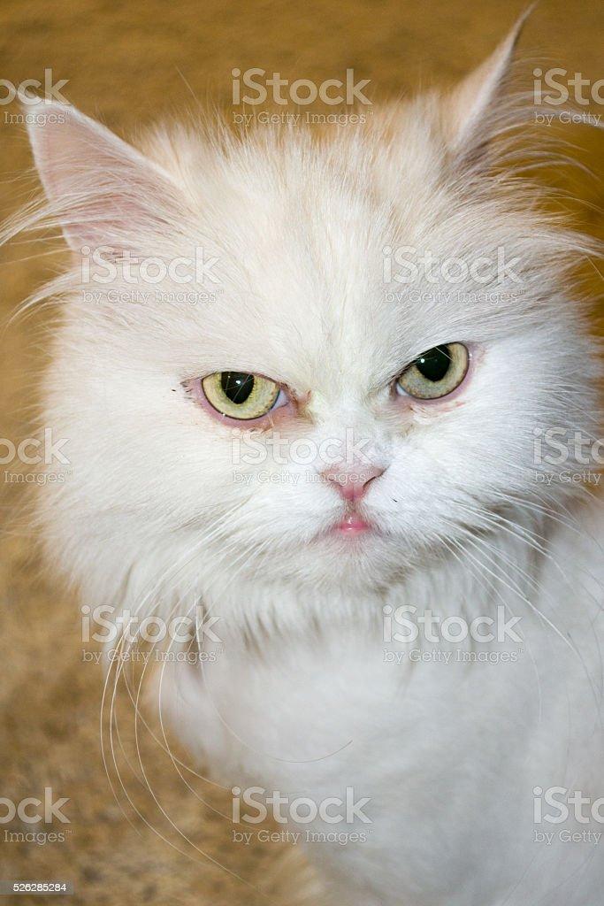The white Persian cat profile stock photo