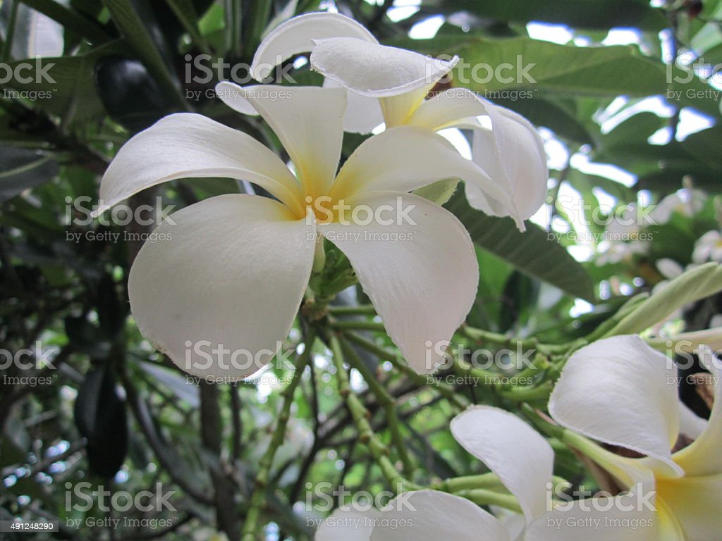 the white plumeria stock photo