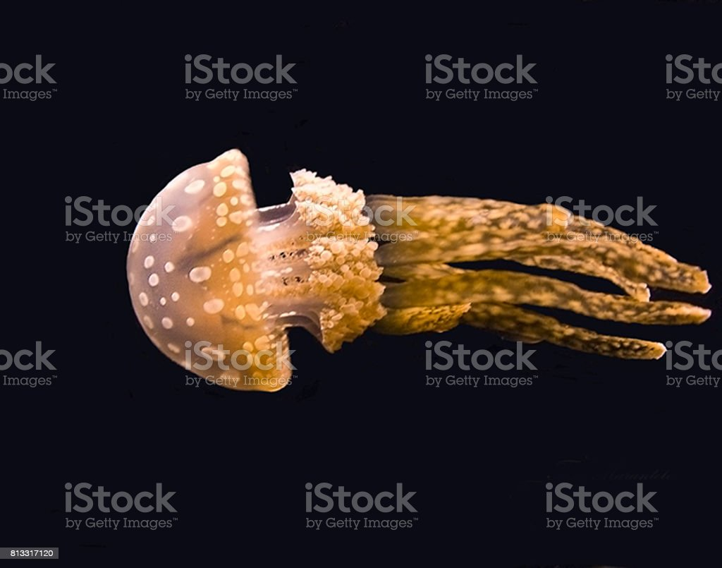 The White Spotted Jellyfish stock photo