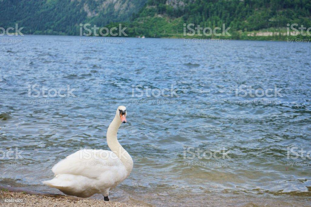 The white swan starring right at the camera on lakeside of Hallstatt stock photo