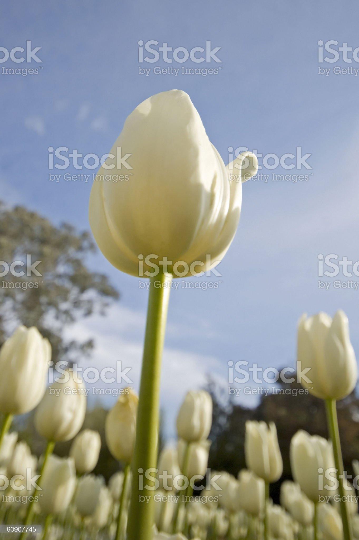 The White Tulip royalty-free stock photo